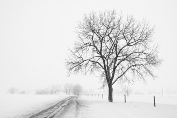 Large Tree and Country Road during Snow Storm