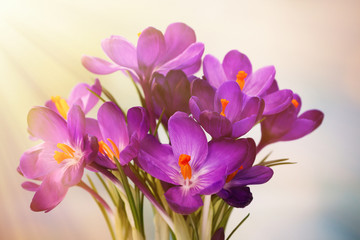 Bouquet of crocuses on bright background