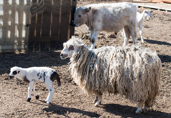 lamb on the farmyard