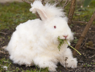 Fluffy angora rabbit eating herbs on grass