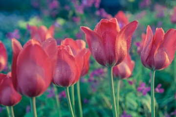 Vintage red tulips flowers