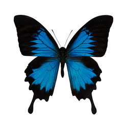 single bright blue butterfly