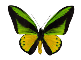 yellow and green large isolated butterfly
