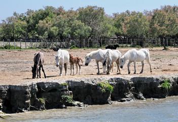 Camargue, cavalli 7