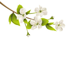 Cherry branch with white flowers isolated on white background