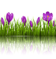 Green grass lawn and violet crocuses with reflection on white. F