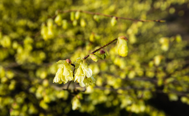 Pale yellow flowering winter hazel from close