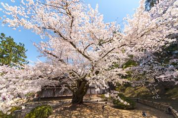 弘前城 日本最古のソメイヨシノ