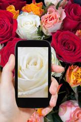 tourist photographs of fresh wet white rose close up