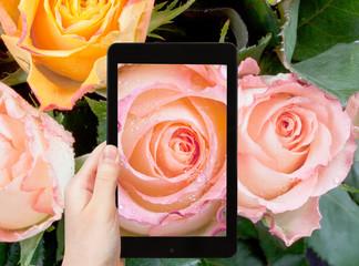 tourist photographs of fresh wet pink rose close up
