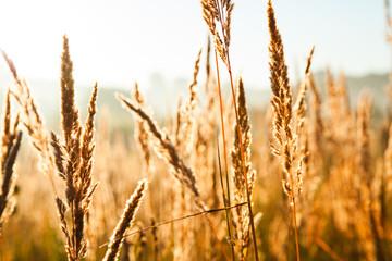 Fototapeta wheat field
