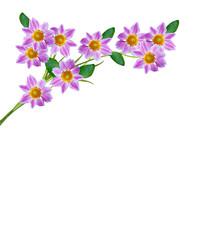 Dahlia flower isolated on white background