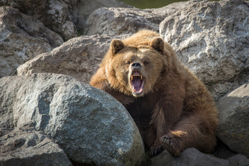 Brown Bear on Rocks