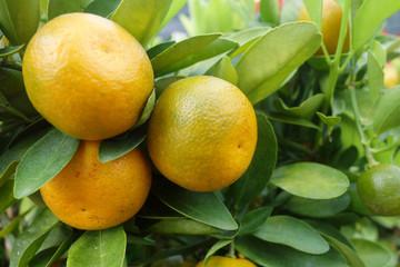Citrus orange grow on tree