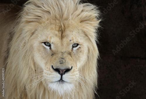 A White Lion (Panterha leo krugeri) staring at the camera..