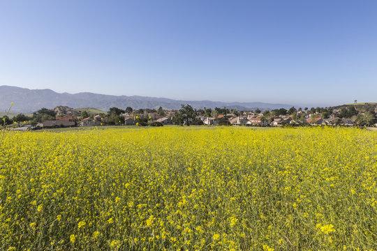 Suburban Wild Mustard Meadow near Los Angeles