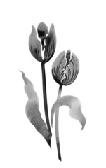 Watercolor tulips, black and white