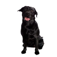 Pretty Labrador Retriever in front of white Background