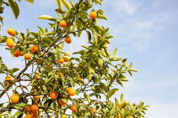 Branch of mini oranges (Kumquats) against a blue sky