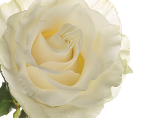 rose with a delicate aroma