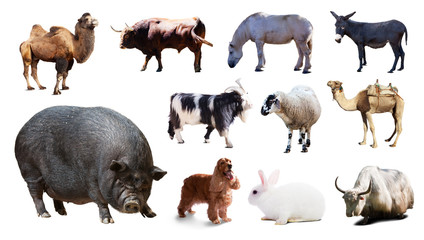 pig  and other farm animals. Isolated over white