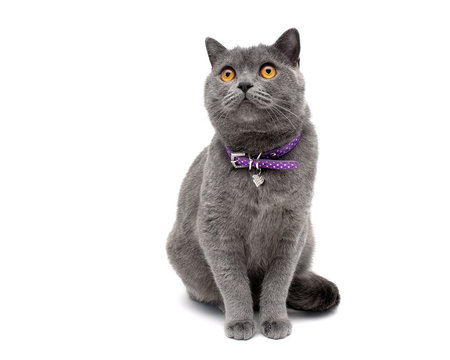 cat with a collar isolated on a white background close-up