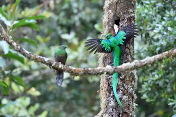 Male and female of resplendent quetzal