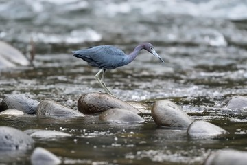 Little blue heron on the river