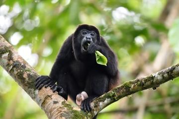 Male of howler monkey eating