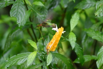 Rufous-tailed hummingbird eating on a yellow flower