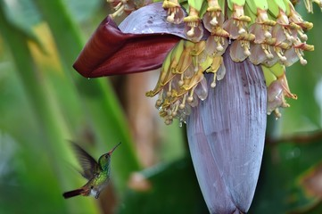 Rufus tailed hummingbird eating on banana flower