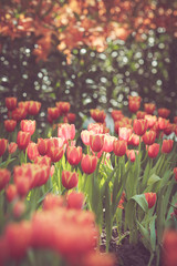 Tulip flower spring in vintage retro tone
