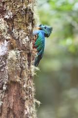 Male of resplendent quetzal