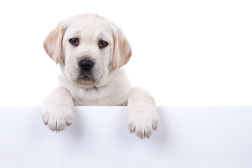 Puppy dog holding sign or banner isolated