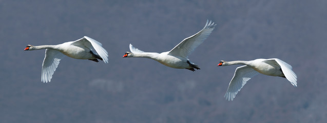 Flock of three mute swans in flight