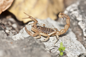 yellow scorpion, Buthus occitanus