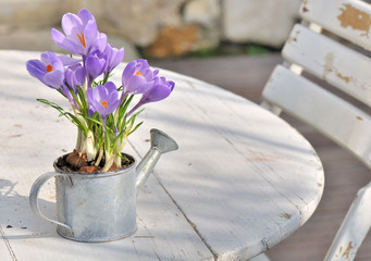 crocus en pot sur table en terrasse