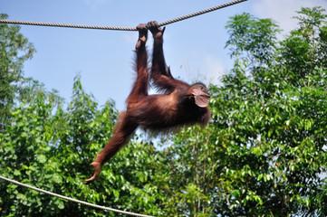 Foto op Canvas Aap Orang Utan swinging on a rope