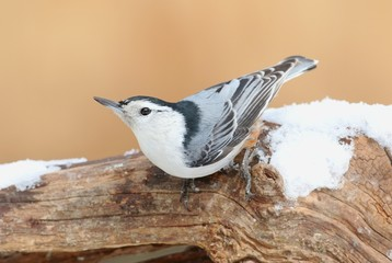 Fotoväggar - White-breasted Nuthatch (sitta carolinensis) in snow