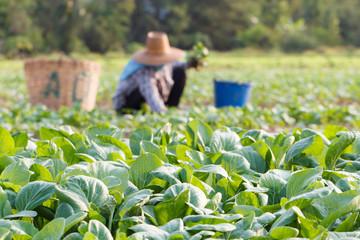 Vegetables field