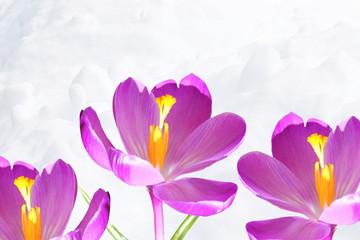 crocus flower blossom in snow landscape