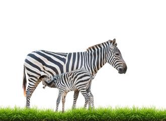 Wall Mural - Zebra was breastfeeding