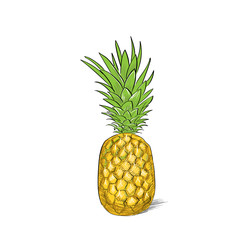 pineapple fruit color sketch draw isolated over white background