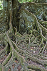 tree root in an old forest in asia