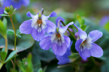Viola suavis in wildlife