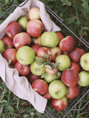 An apple orchard in Utah. A basket of apples.