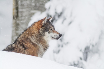 portrait grey wolf in the snow
