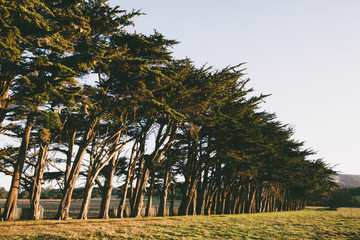 Row of Monterey Cypress trees native species of tree on the edge of a field near Point Reyes.