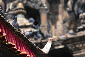 Tile roofs with many birds on the Durbar square in Khatmandu, Ne
