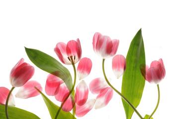 spring tulip close up